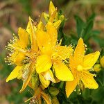 Saint John's wort oil